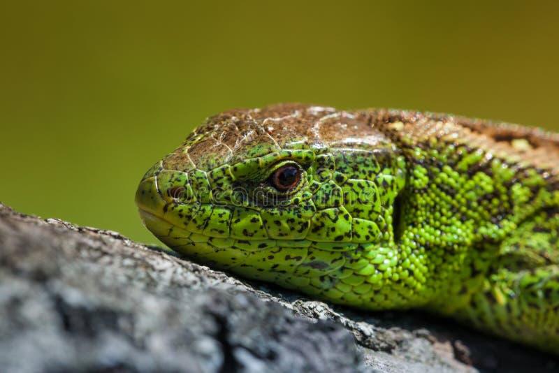 Верткие viridis ящерицы зеленой ящерицы, крупный план agilis ящерицы, греясь на дереве под солнцем Мужская ящерица в брачном пери стоковое фото