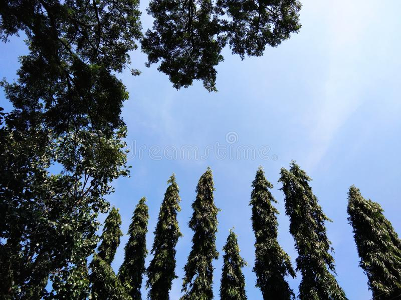 Верхнее зеленое дерево, дерево Asoka и голубое небо стоковое фото rf