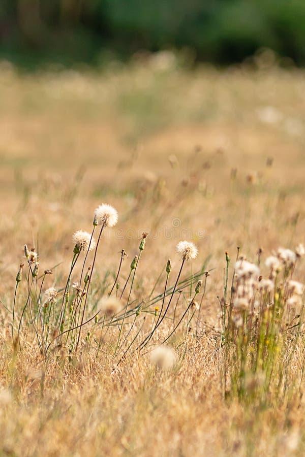 верхние части белого одуванчика тучные в золотом поле стоковое изображение rf