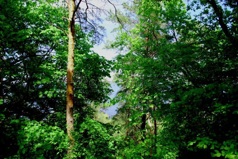 Верхние части дерева зеленого леса стоковые фото