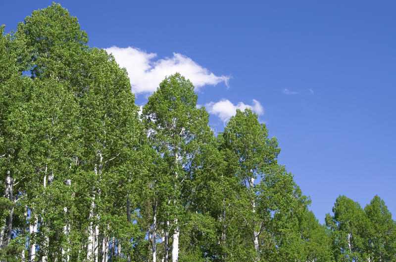 Верхние части дерева Aspen стоковые фото