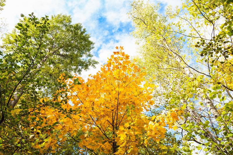 верхние части осины, березы, клена, карих деревьев в лесе стоковые фотографии rf
