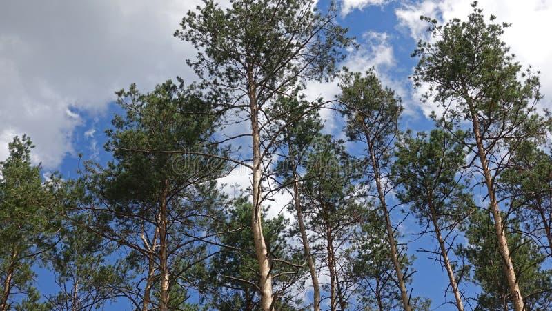 Верхние части сосен протягивая в небо стоковые фото