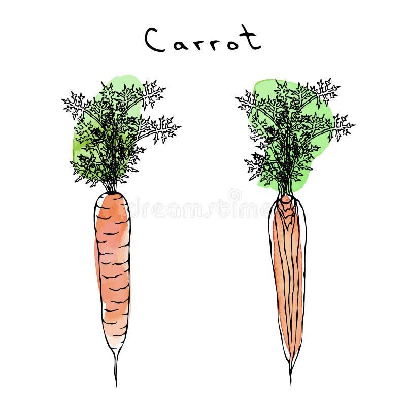 Верхние части wuth морковей Watercolour оранжевые Реалистической иллюстрация нарисованная рукой Стиль Doodle Savoyar иллюстрация штока