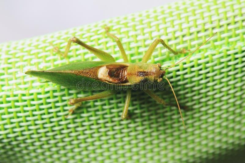 Верхний задний конец вверх по изображению саранчи сидя на зеленой синтетической задней части стула стоковые изображения
