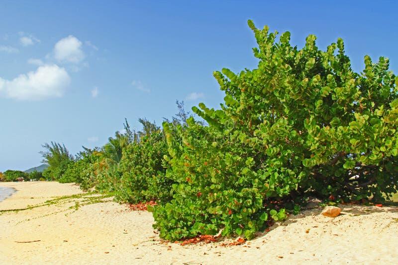 Верхняя часть дерева виноградины моря с космосом экземпляра стоковые изображения rf