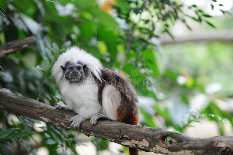 верхняя часть tamarin saguinus oedipus обезьяны хлопка стоковые фото