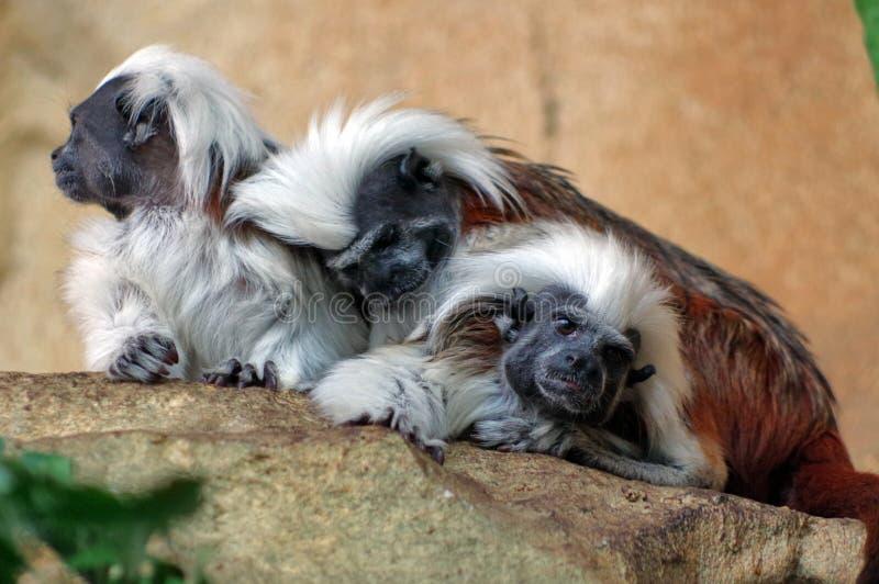 Вершин хлопк обезьяна Tamarins стоковое изображение