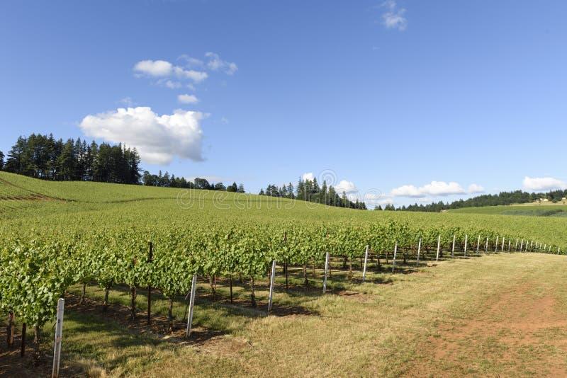 Весеннее время в виноградниках западного Орегона стоковые изображения