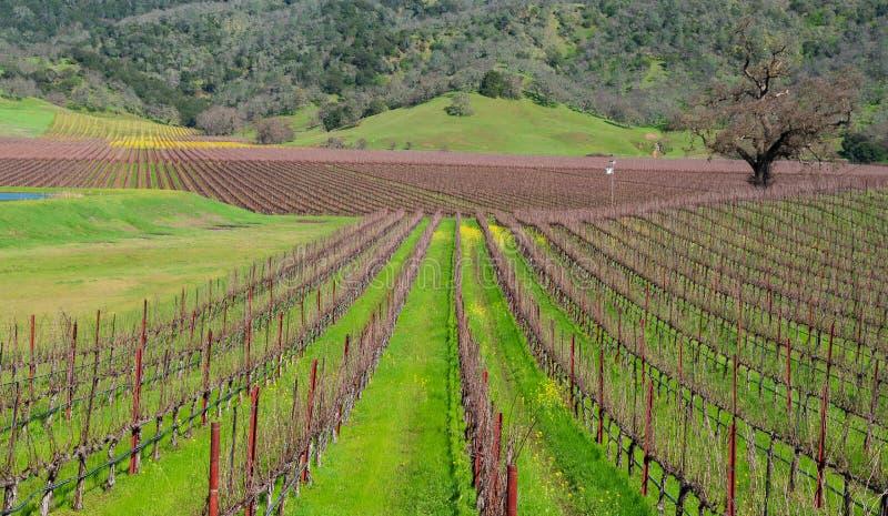 Весеннее время в районе виноградника Fairfield CA для того чтобы осмотреть строки лоз с желтым зеленым цветом мустарда стоковые фотографии rf