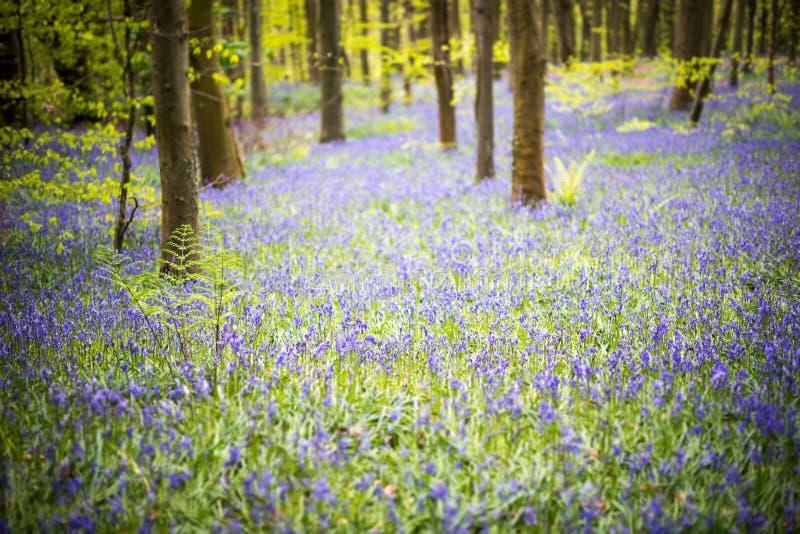 Весеннее время древесин Bluebell стоковые фото