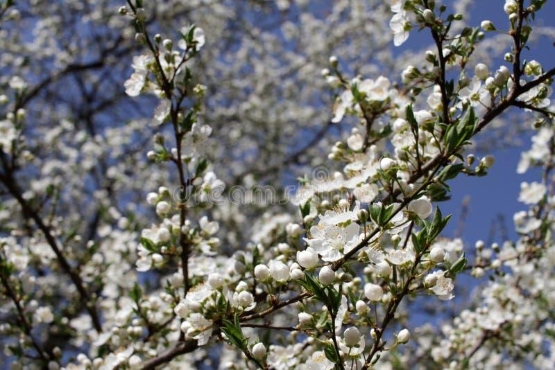 Весеннее время и зацветая дерево стоковое изображение rf