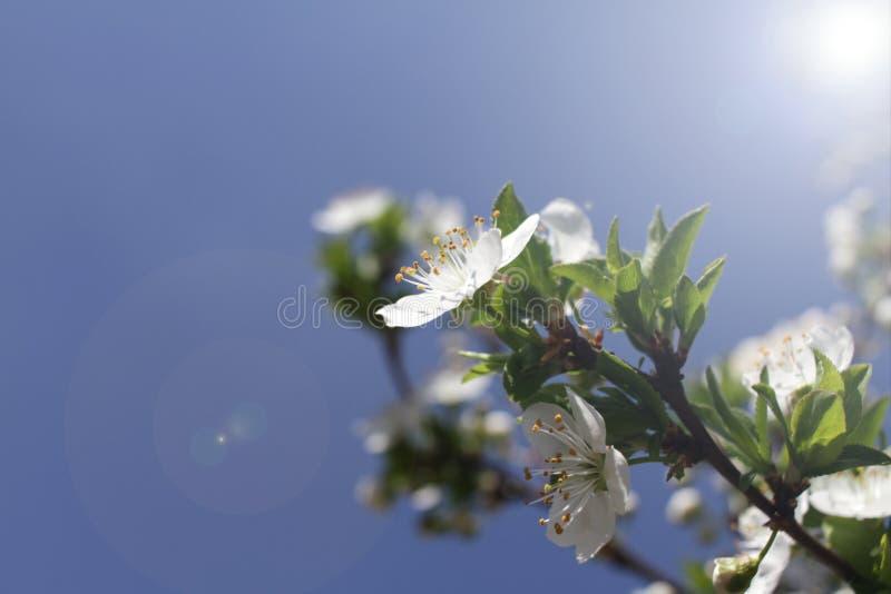Весеннее время и зацветая дерево стоковая фотография rf