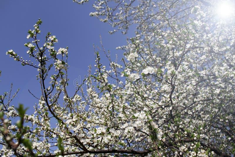Весеннее время и зацветая дерево стоковые изображения rf
