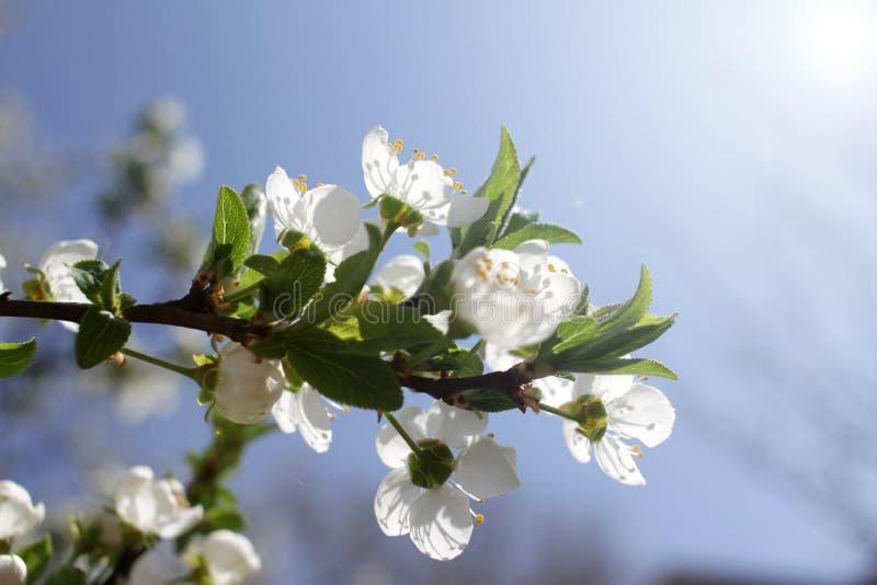 Весеннее время и зацветая дерево стоковое изображение