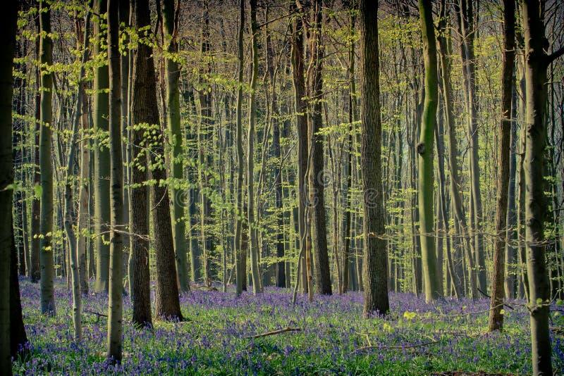 Весеннее время и bluebells на древесинах Hallerbos стоковая фотография rf
