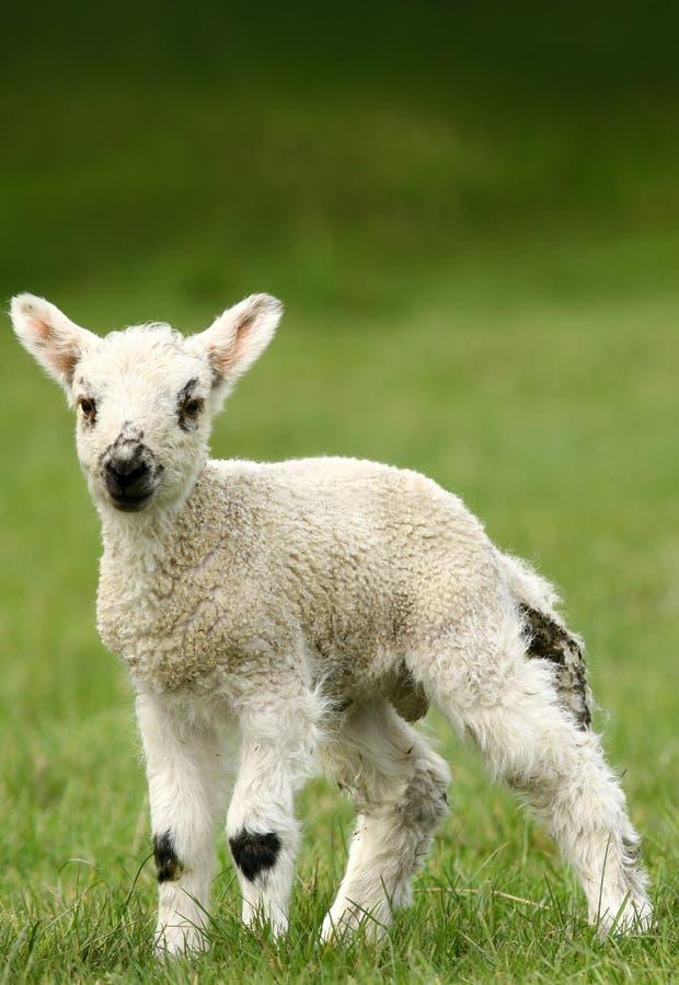 весеннее время овечки стоковое изображение rf