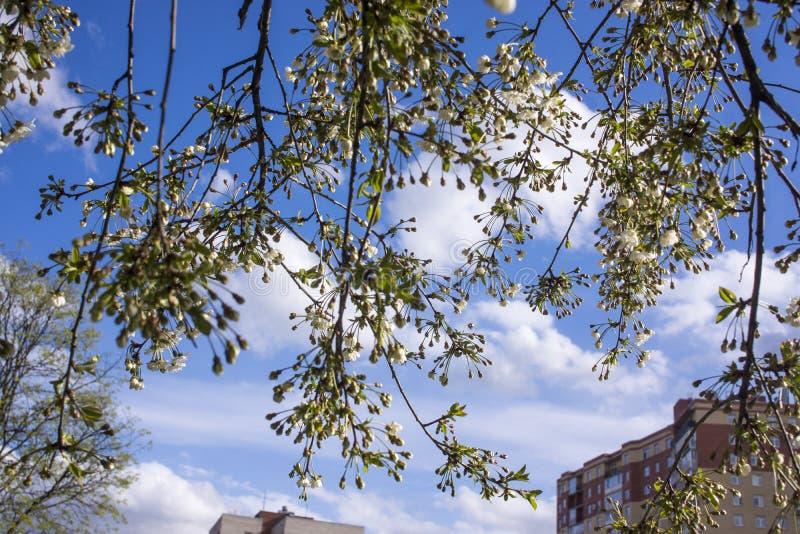 Весеннее цветение: ветви цветущего яблока или вишни в парке Белые цветы яблони или вишни на яблочном дереве стоковые фото