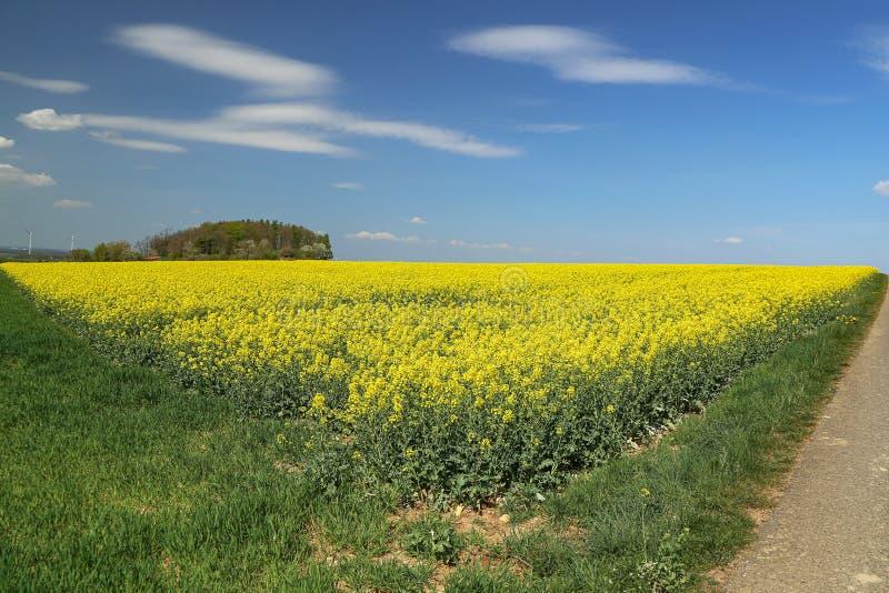 Весенний пейзаж с ярко-желтыми полями с рапсами стоковые фотографии rf