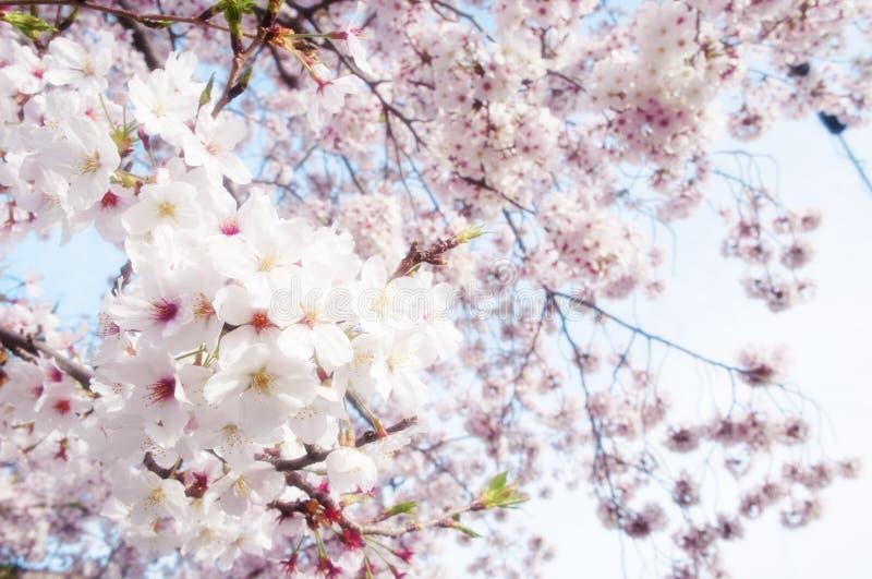 Весенний сезон вишневого цвета в Японии стоковые фото
