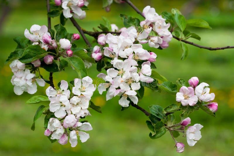 весна ветви цветений яблока стоковое изображение