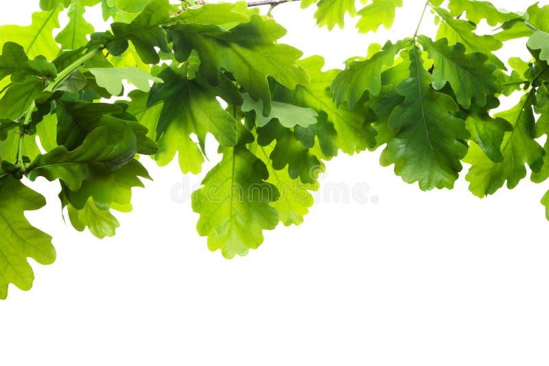 весна дуба ветви стоковое изображение rf