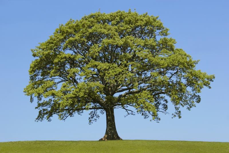 весна дуба стоковое изображение rf