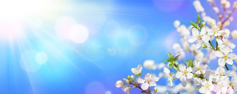 Весна зацветая - солнечный свет на цветенях миндалины стоковая фотография