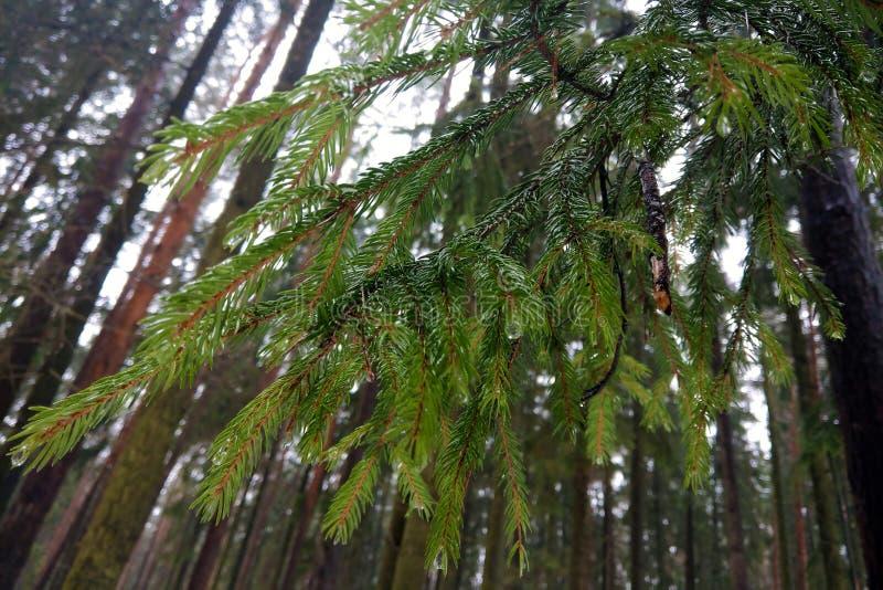 Весна зеленой молодой ветви елевая в парке стоковые фотографии rf