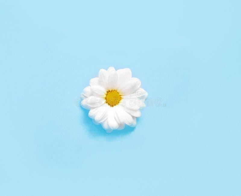 Весна или предпосылка лета с космосом экземпляра для текста Цветок стоцветов белый с желтым сердцем Взгляд сверху стоковое изображение rf