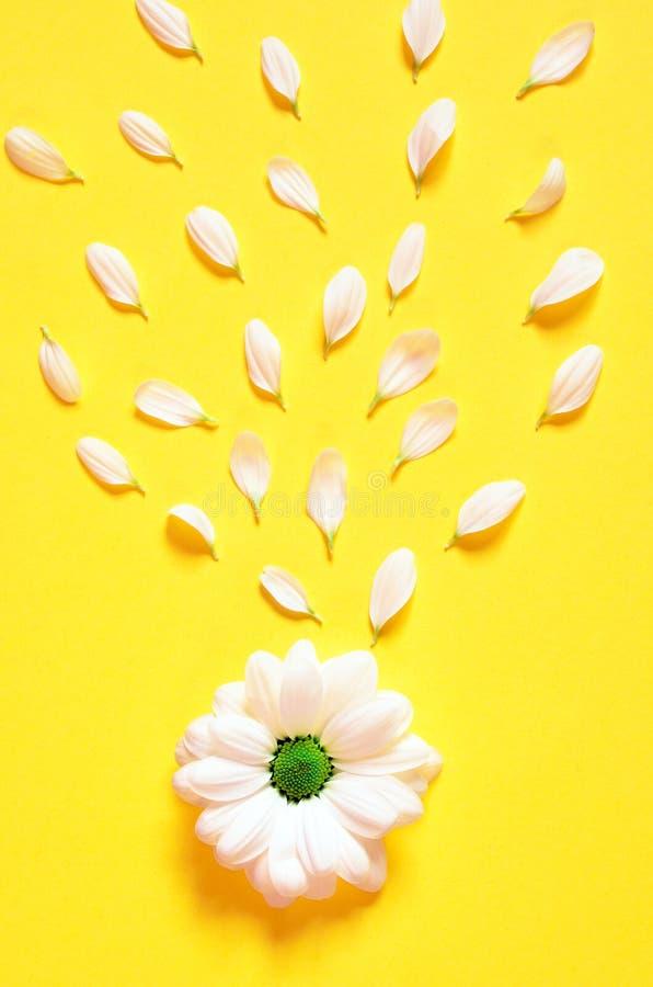 Весна или предпосылка лета с космосом экземпляра для текста Цветок стоцветов белый с желтым сердцем Взгляд сверху стоковое изображение
