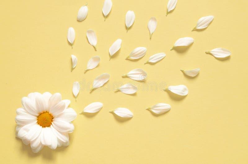 Весна или предпосылка лета с космосом экземпляра для текста Цветок стоцветов белый с желтым сердцем Взгляд сверху стоковые изображения