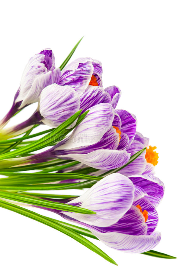 весна крокусов стоковые изображения