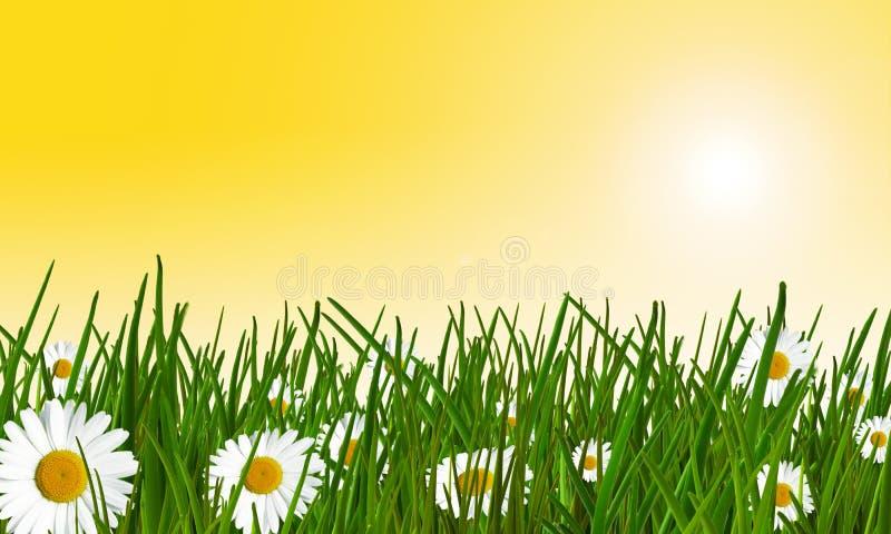 весна лужка маргариток стоковая фотография rf