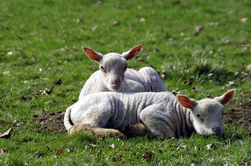весна овечек стоковое изображение rf