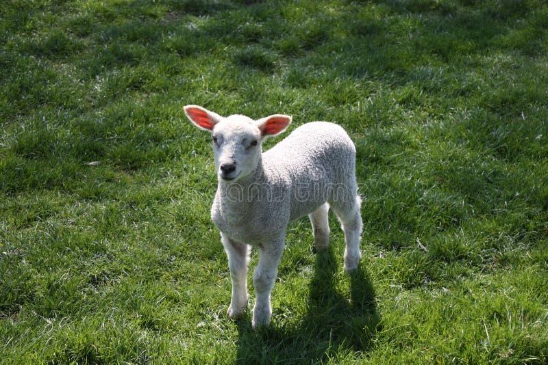 весна овечки стоковые изображения