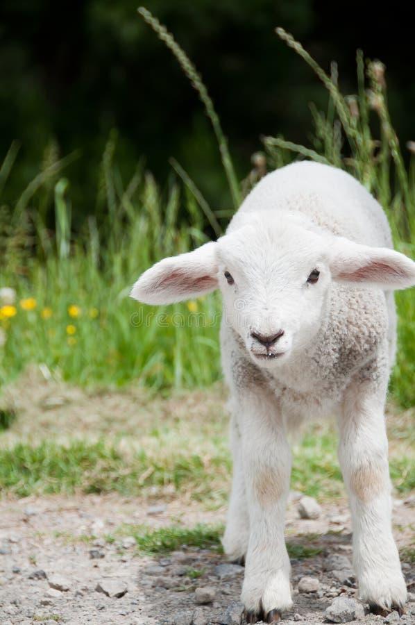 весна овечки стоковое изображение rf