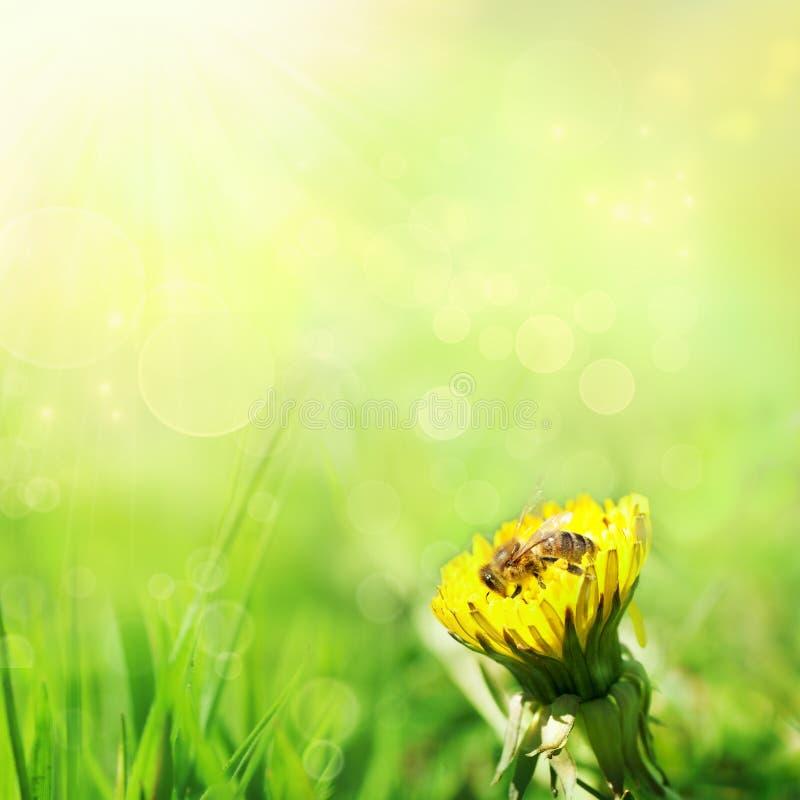 весна одуванчика предпосылки стоковые фотографии rf
