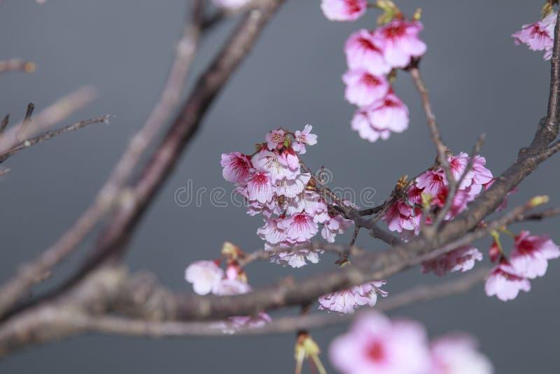 Весна приходит, вишневые цвета зацветает стоковое изображение rf