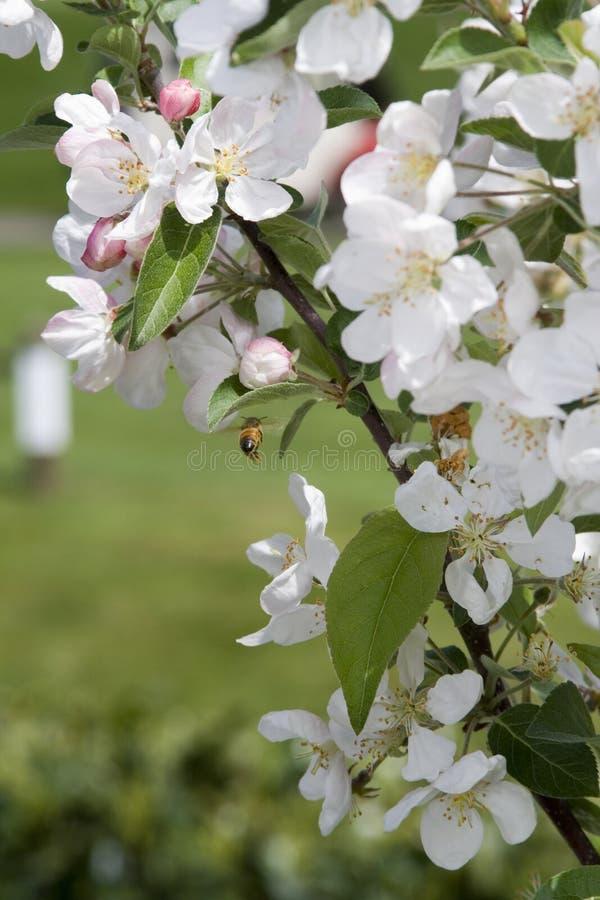 весна рака яблока стоковое изображение