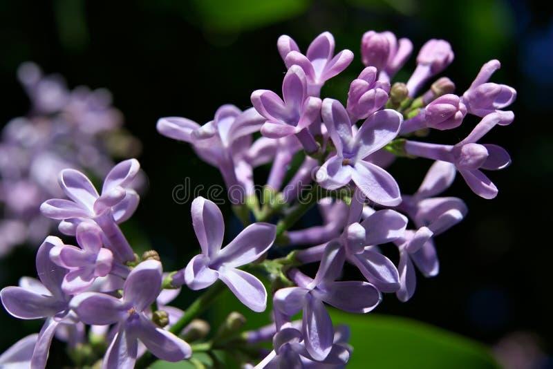 весна сирени bush предыдущая стоковое изображение