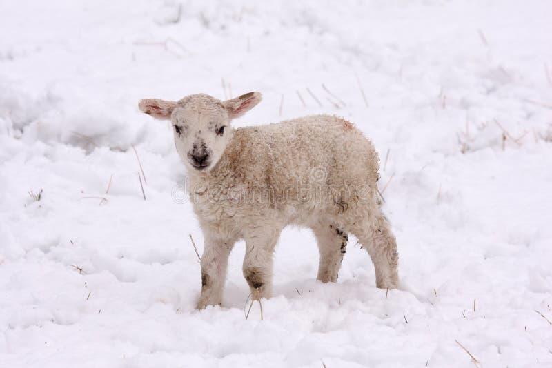 весна снежка овечки стоковое изображение rf