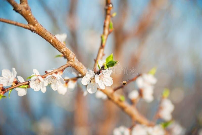 Весна цвести конца-вверх и космоса дерева для текста Естественная текстура цветя дерева стоковое фото