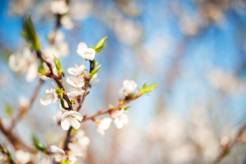 Весна цвести конца-вверх и космоса дерева для текста Естественная текстура цветя дерева стоковое изображение rf