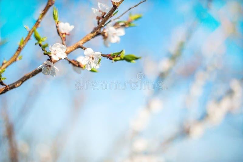 Весна цвести конца-вверх и космоса дерева для текста Естественная текстура цветя дерева стоковые фото
