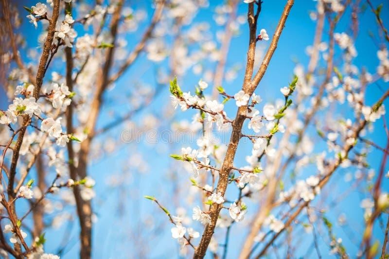Весна цвести конца-вверх и космоса дерева для текста Естественная текстура цветя дерева стоковые изображения