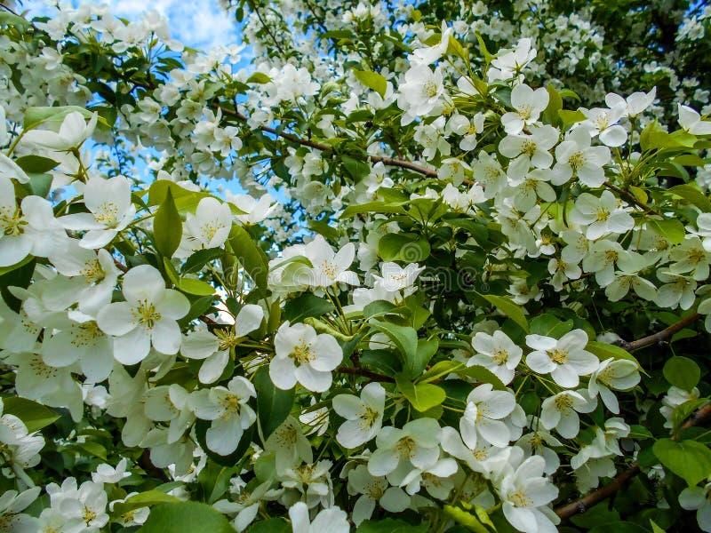 весна цветений яблока Ветви blossoming дерева стоковые изображения
