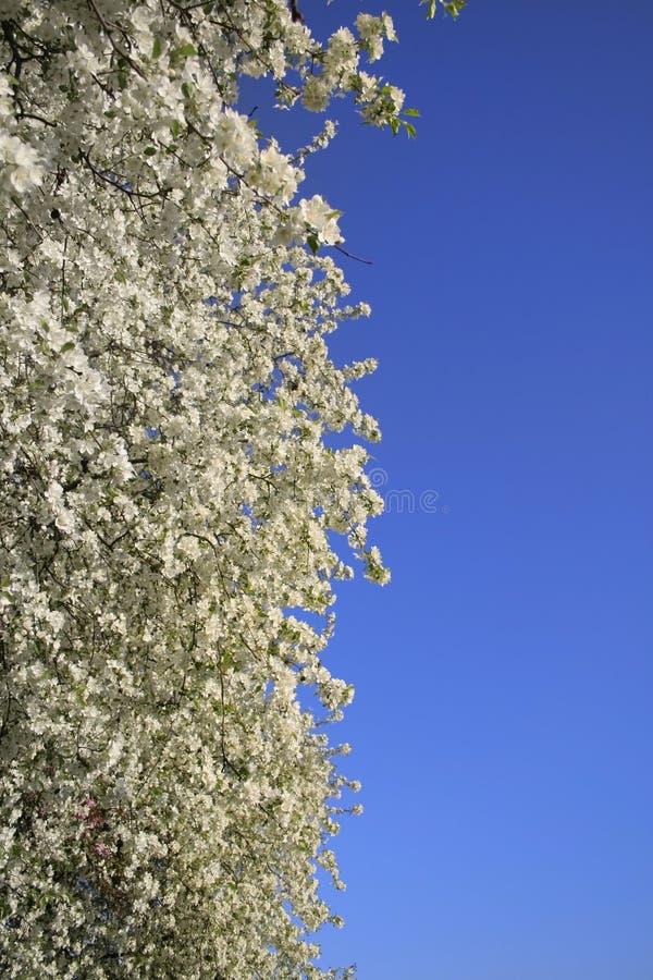 весна цветеня предпосылки стоковое фото