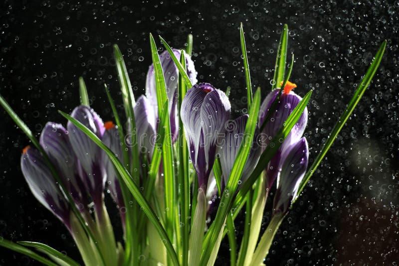 Весна цветет, голубой крокус на черной предпосылке стоковые фотографии rf