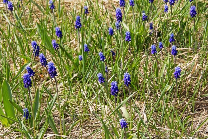 Весна цветет - Muscari цветков сини или murine гиацинт в одичалом стоковая фотография
